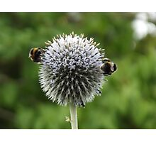 Macro Bumble Bees Photographic Print