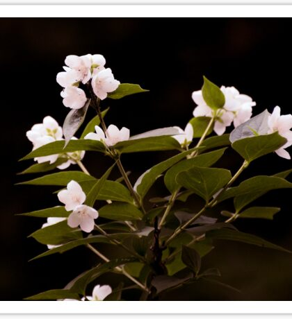 Natural Beauty of Jasmine Sticker