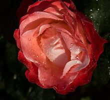 A Wonderful Cream-and-Red Rose With Dewdrops by Georgia Mizuleva