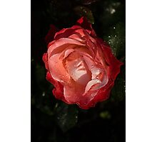 A Wonderful Cream-and-Red Rose With Dewdrops Photographic Print