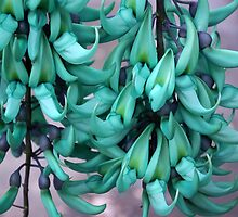 Jade Vine in Flower by Kerryn Madsen-Pietsch