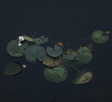 Water Lily Pads by RVogler