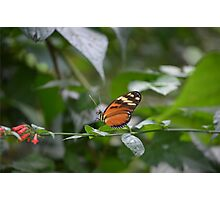 Common Orange and Black Butterfly Photographic Print