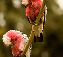 Galahs Preening #3 by Fred O'Donnell