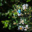 Daintree Monarch Butterfly by Silken Photography