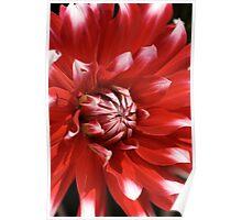 flower- red-white-dahlia Poster