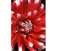 flower- red-white-dahlia Photographic Print