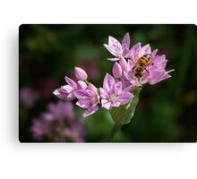 Bee sipping nectar from a wild onion flower Canvas Print