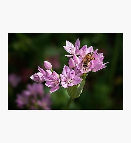 Bee sipping nectar from a wild onion flower Photographic Print