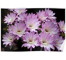 Profusion of Pink Cactus Poster