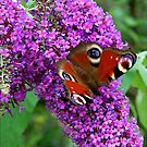 Peacock Butterfly on Buddleia by hootonles