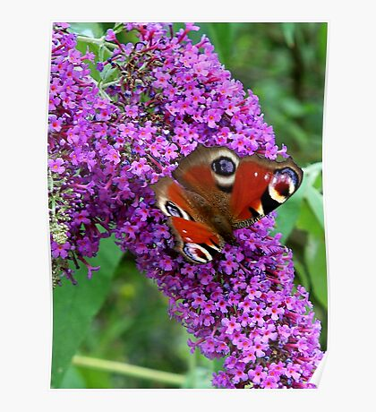 Peacock Butterfly on Buddleia Poster
