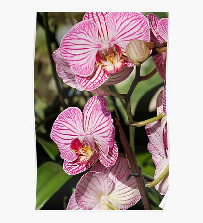 orchid bloom Poster