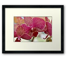 orchid bloom Framed Print