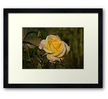 Golden Yellow Sparkles - a Fresh Rose With Dewdrops Framed Print