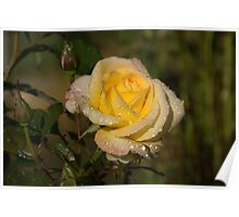 Golden Yellow Sparkles - a Fresh Rose With Dewdrops Poster