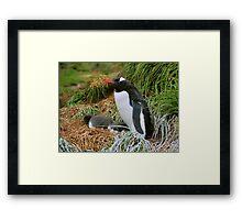 Gentoo Penguins on the Nest Framed Print