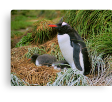 Gentoo Penguins on the Nest Canvas Print
