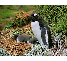 Gentoo Penguins on the Nest Photographic Print