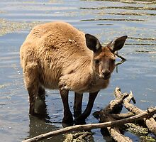 Cooling Off! Western Grey Kangaroo  by Carole-Anne