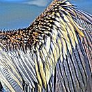 Male Anhinga Wing by glink