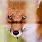 The Fox That Was Caught In The Hen House by ©Dawne M. Dunton