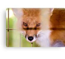 The Fox That Was Caught In The Hen House Canvas Print