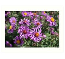 Autumn Amethyst - New England Aster flowers Art Print