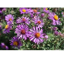 Autumn Amethyst - New England Aster flowers Photographic Print