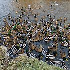 Duck Frenzy by AnnDixon