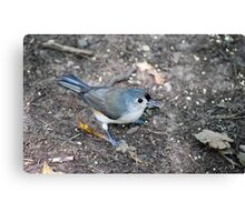 Tufted Titmouse Seed Hunt Canvas Print