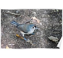 Tufted Titmouse Seed Hunt Poster