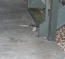 Baby Possum by Navigator