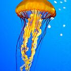 Jellyfish by dmacneil