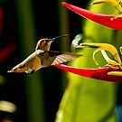 Hummingbird Loving Heliconia by DARRIN ALDRIDGE