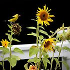 Sunflowers and Finches - 5 of 9 by Rosemary Sobiera