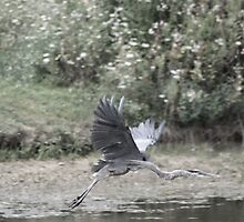 Heron in Flight by Tony Wilder