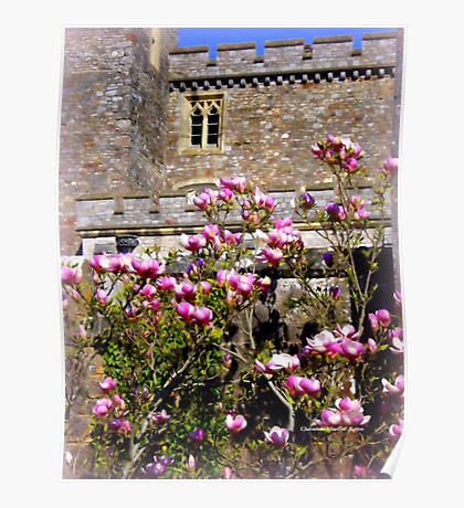 Pink Magnolia at Powderham Castle Poster