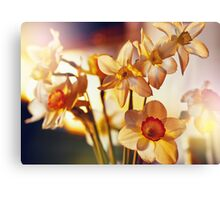 Spring flowers daffodils  Canvas Print