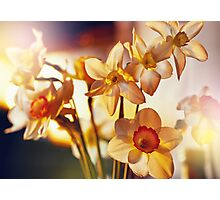 Spring flowers daffodils  Photographic Print