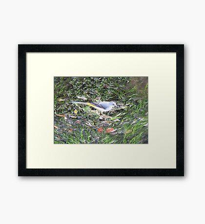 Grey Wagtail Framed Print
