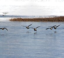 Canadian Geese Takeoff by Gilda Axelrod