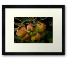 Organic lady apples Framed Print