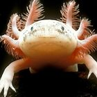 Axolotl  by abeer hassan