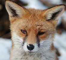Red Fox by Angelicus73
