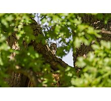 Little Owl - Athene Noctua Photographic Print