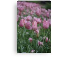 Spring Tulips in Western Australia Canvas Print