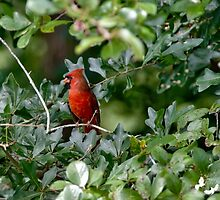 Cardinal on Look Out by TJ Baccari Photography
