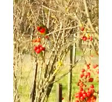 Rosella in the Cherry Tree Photographic Print