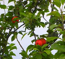 Red Apples by Fara